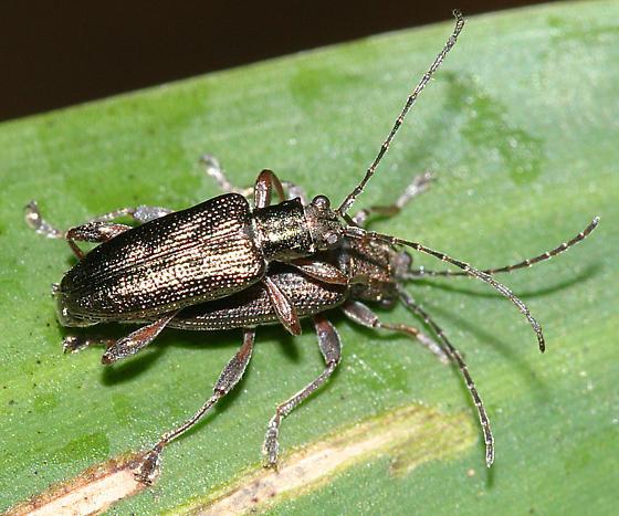 aquatic leaf beetles, Donacia sp. - Donacia