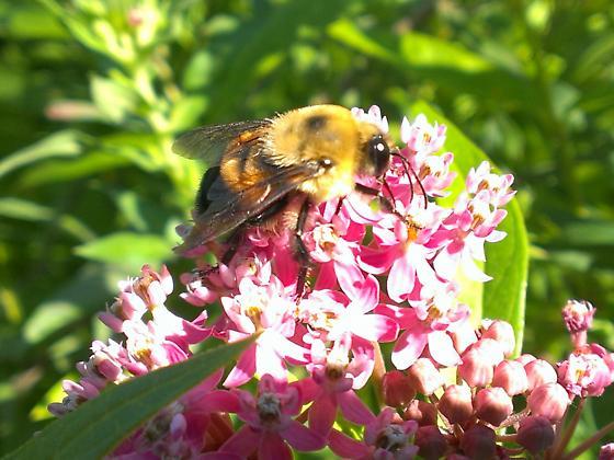 Bumblebee on Swamp Milkweed - Bombus griseocollis - male