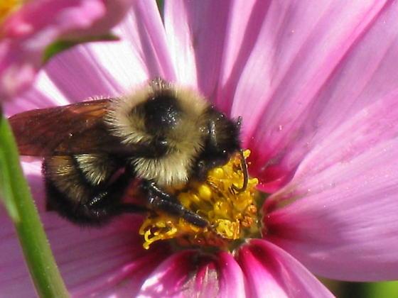 Bombus affinis? - Bombus citrinus - male