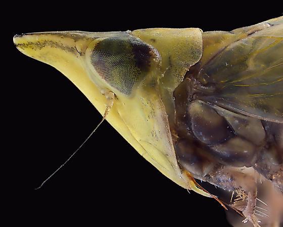 Unidentified leafhopper - Scaphytopius elegans