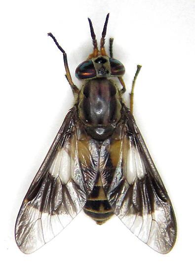 Chrysops montanus - female