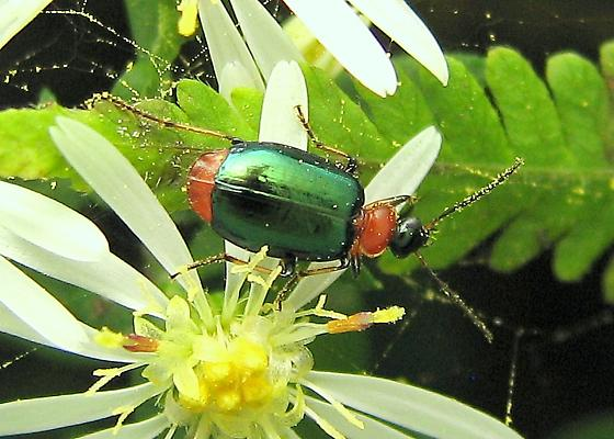 Calleida, but what species? - Lebia viridipennis