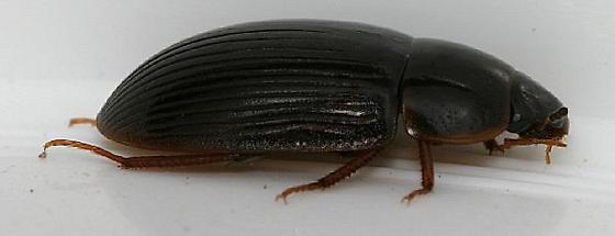Black beetle with brown legs - Helocombus bifidus