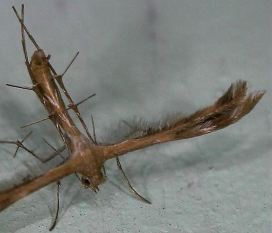 Megalorrhipida leucodactylus - Megalorhipida leucodactylus
