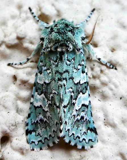 Feralia februalis