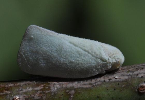 Hopper - Flatormenis proxima