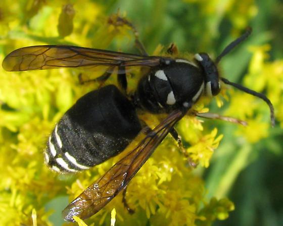 Black & white hornet - Dolichovespula maculata