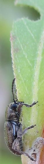 Beetle - Graphops pubescens