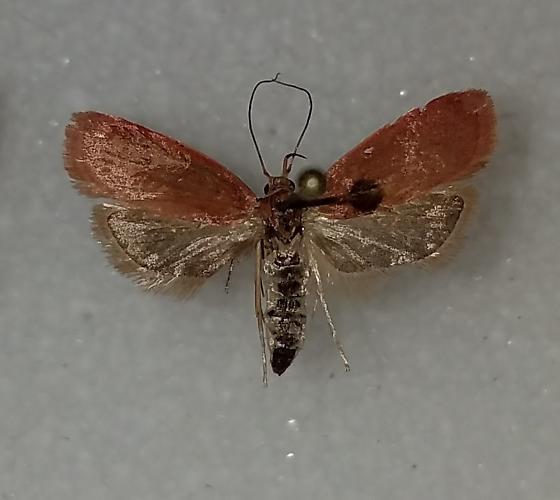 Himmacia huachucella