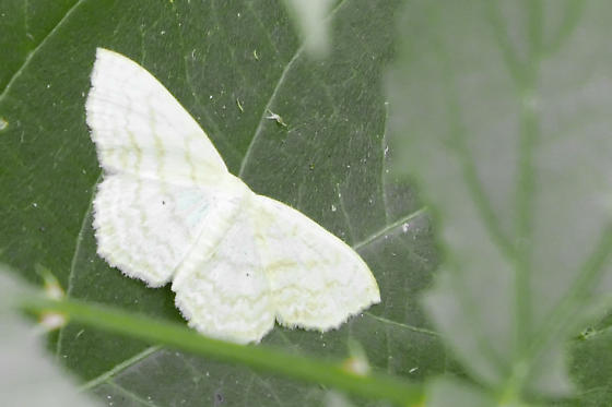 Unknown Moth/Butterfly - Scopula limboundata
