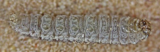 Sand dune beetle larva ID help - Feltia subterranea