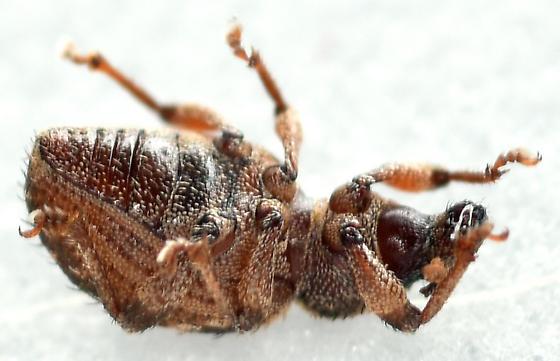 broad-nosed weevil - Cercopeus - male