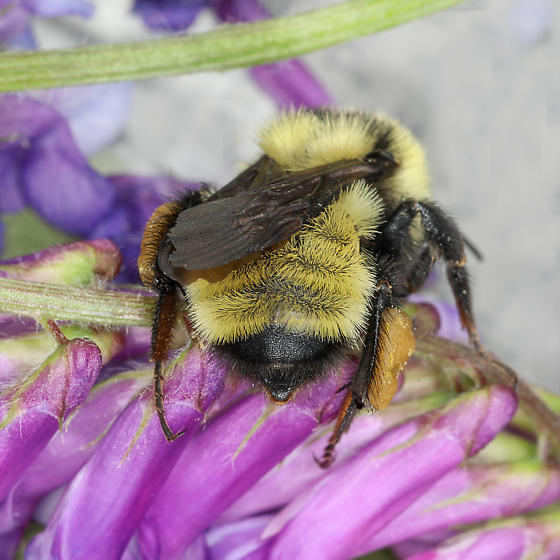 Yellow Bumble Bee - Bombus fervidus? - Bombus fervidus - female