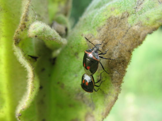 Love is in the air - Cosmopepla lintneriana - male - female