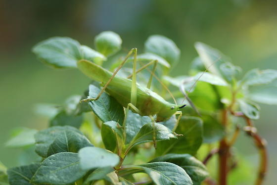 slightly musical katydid - Neoconocephalus exiliscanorus - male
