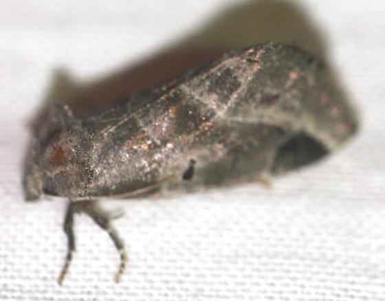 Plagiomimicus pityochromus