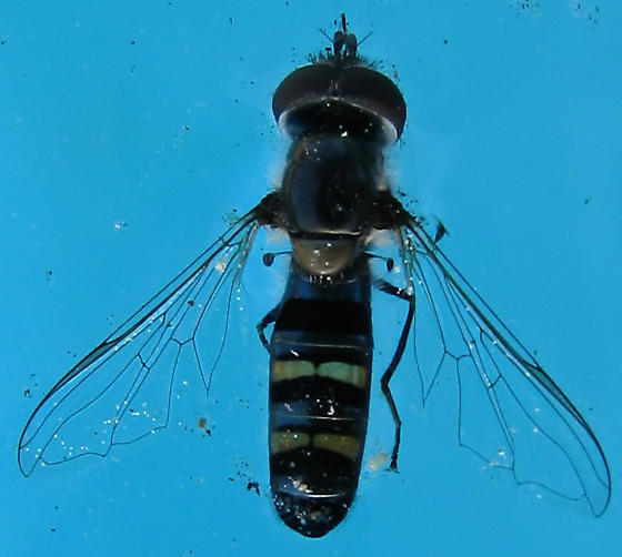 Blue & Gold Syrphid in California - Pseudoscaeva diversifasciata - male