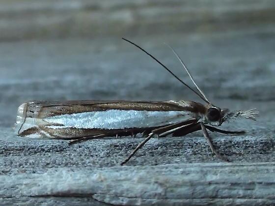 Crambidae: Crambus leachellus - Crambus leachellus