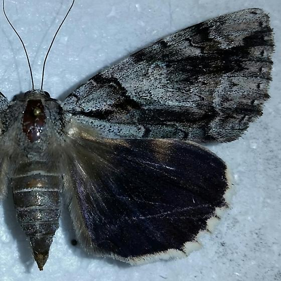 Lepidoptera - Catocala vidua