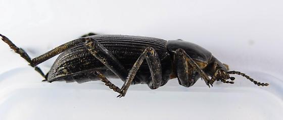 Another Eleodes? - Eleodes obscura