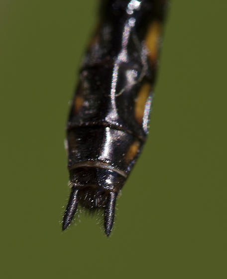 Baskkettail Dragonfly - Epitheca cynosura