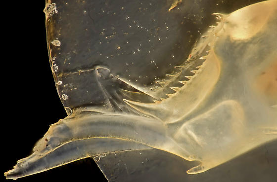 Clam shrimp telson, glycerin saturated - Eulimnadia geayi - female