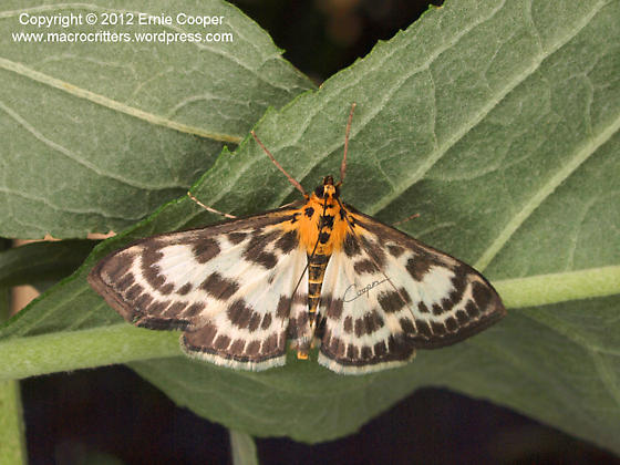 Unidentified butterfly - Anania hortulata