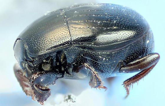 clown beetle - Geomysaprinus posthumus