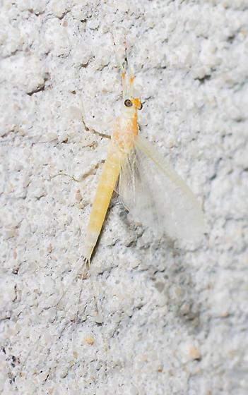 Orange-backed mayfly - Anthopotamus