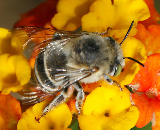 Apidae? - Anthophora californica