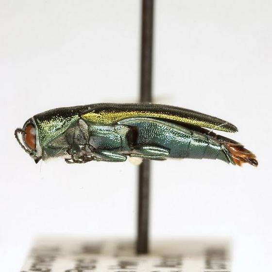 Agrilus lacustris LeConte - Agrilus lacustris