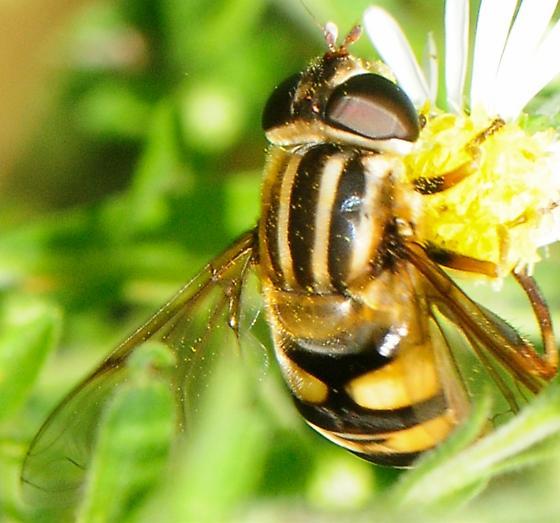 Hoverfly Helophilus fasciatus  - Helophilus fasciatus
