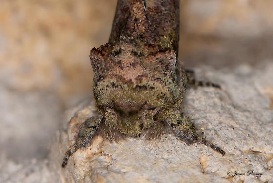 Schizura errucata - Hodges#8008  - Schizura errucata