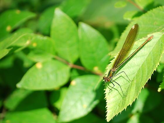 Broad-winged Damselfly - Calopteryx maculata