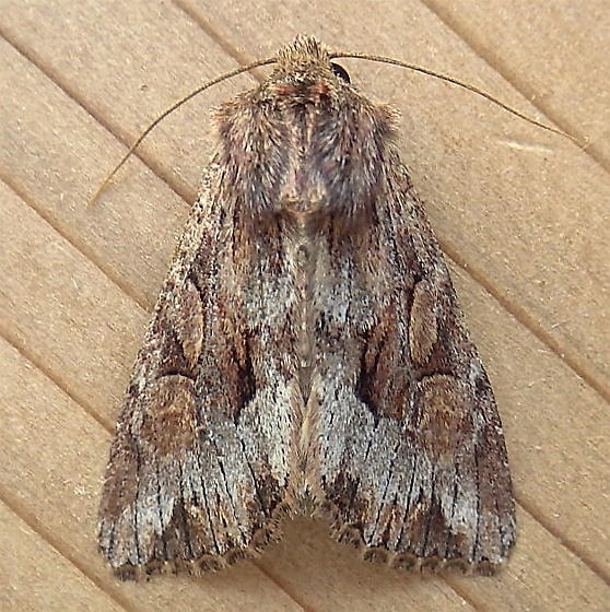 Noctuidae: Apamea antennata - Apamea antennata