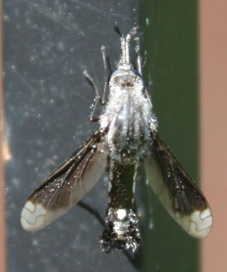 Bentsen Lepidophora #2, dorsal view - Lepidophora vetusta