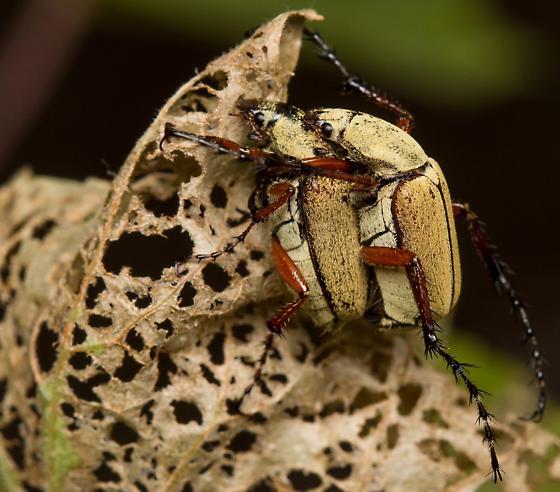Mating, Macrodactylus uniformis? - Macrodactylus uniformis - male - female