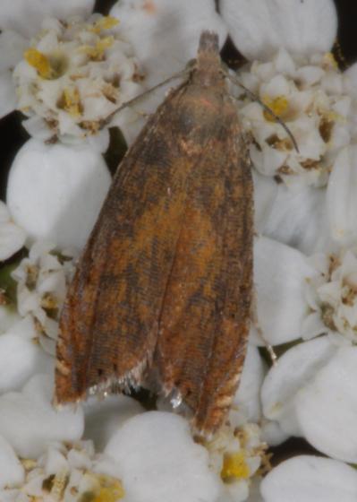Moth - rusty brown on flowers