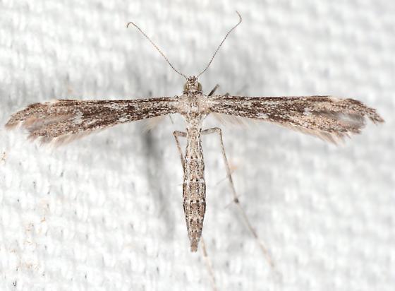 Hellinsia inquinatus