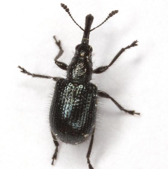 Haplorhynchites pseudomexicanus Hamilton - Haplorhynchites pseudomexicanus