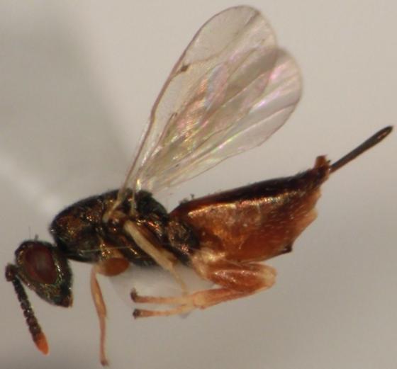 green and bronze parasitic wasp - Erimerus - female