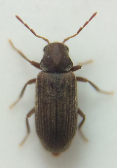 Ptinid - Anobium punctatum