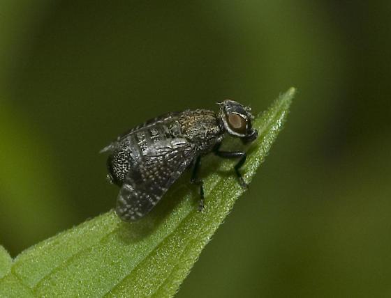 Strange fly - Platystoma seminationis