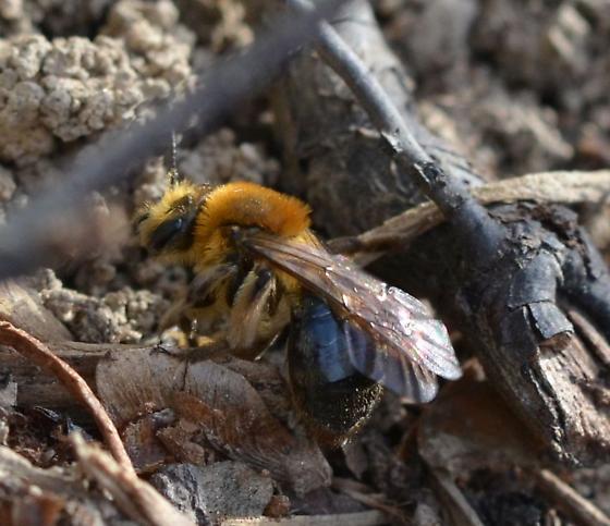 Andrena - Andrena dunningi - female