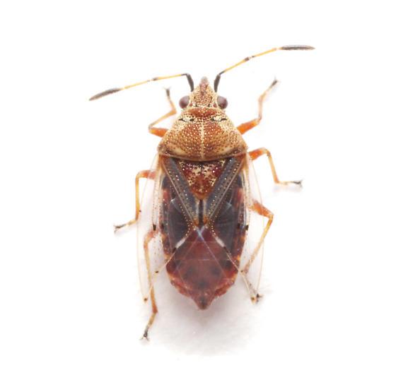 Lygaeidae, Birch Catkin Bug, dorsal - Kleidocerys resedae