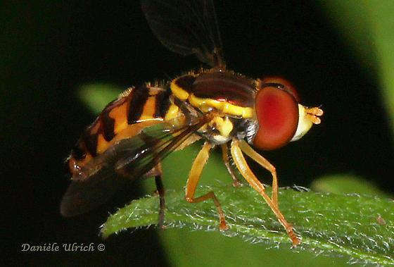 Syrphidae sp. - Toxomerus geminatus