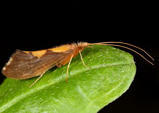 Trichoptera - Neophylax