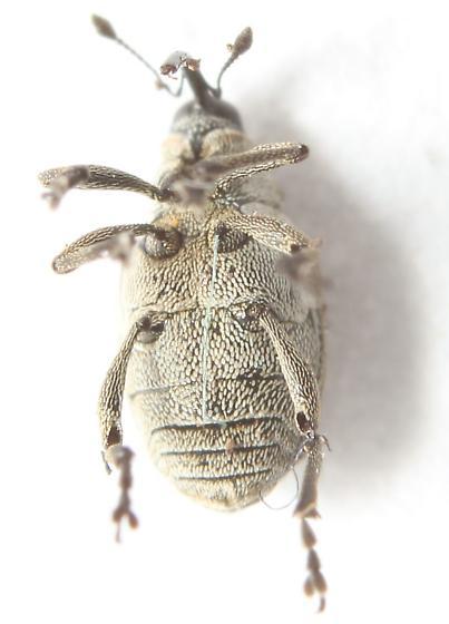 Ceutorhynchus obstrictus