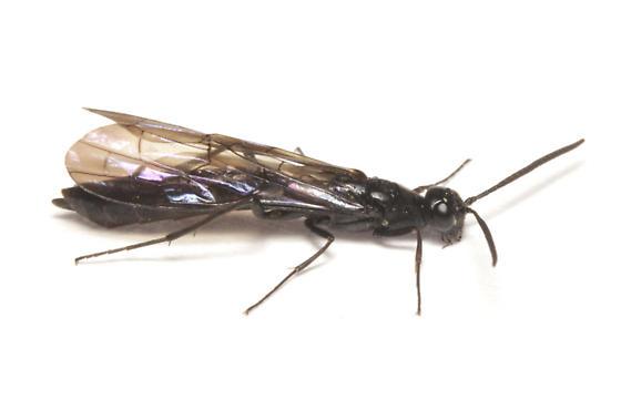 Cephidae, Rose Shoot Sawfly - Hartigia trimaculata
