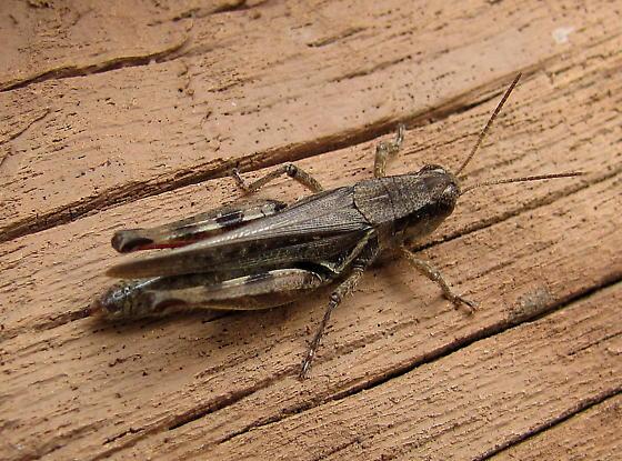 Acrididae - Melanoplus - female